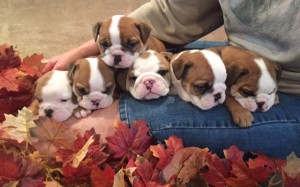 See our pup page will have fawn/white and Our Panda Bullies for Christmas. See our pairs to be bred for 2017 . Click on meet the parents and scroll down to Dams and Studs page'